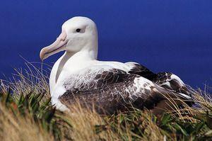 Pták z albatrosu. Kdo jsou blázniví albatrosové?