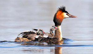 Pták chomga nebo velká hubička: popis, životní styl