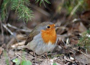 Bird robin: vzhled, rysy a výživa