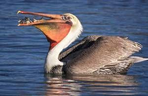 Bird pelikán: způsob života, obydlí, kde jsou ryby skládané