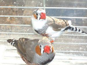 Druhy ptačího plemene Amadin