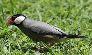 Co vypadá pták Amadina?