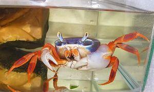 Rainbow krab: údržba a péče doma