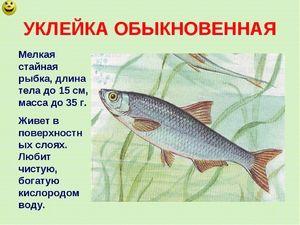 Tření ryby