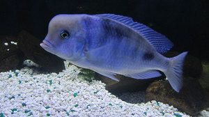 Chov akvarijní ryby modrý delfín