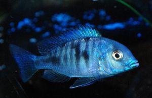 Blue Dolphin - krásná ryba pro akvárium