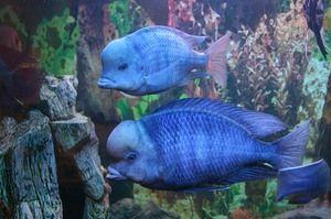 Delfínová modř: velikost akvária, výživa a péče
