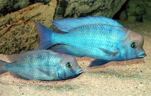 Cichlid nebo modrý delfín - krásná ryba