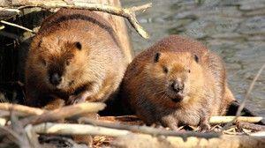 Řeka a evropský bobr. Beaver Features