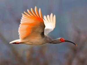 Vzácné ptáky - japonské ibis