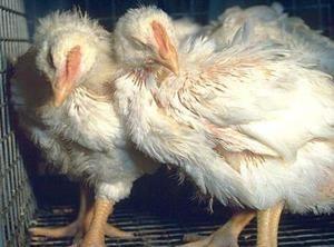 Respirační mykoplasmóza u kuřat brojlerů příznaky a léčba