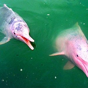 Dolphin růžová barva