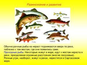 Růžové lososové ryby
