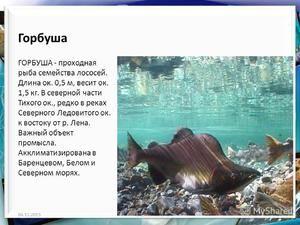 Popis exteriéru růžového lososa