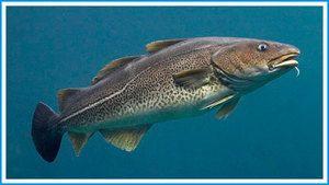 Které ryby souvisejí s treskou