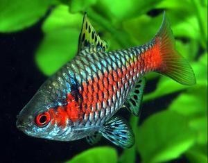 Rybí barbary: druhy, péče, reprodukce