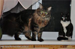 Maine Coon a společná kočka