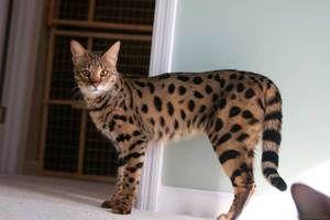 Domácí kočka asher