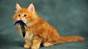 Malé koťátko z plemene maonky
