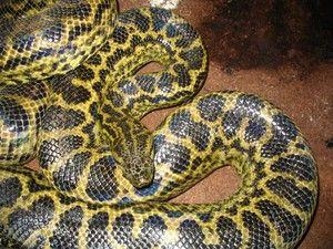 Nejdelší had na světě, velké hadi