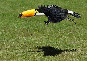 Nejzajímavějším z života Toukánu je pták s velkým zobákem