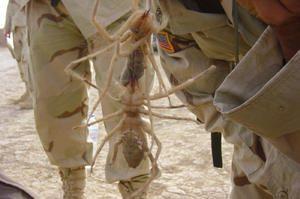 Camel pavouk - největší a nejnebezpečnější pavouci