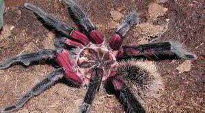 Lososově růžový pavouk-tarantula - nejvíce velké a nebezpečné pavouky