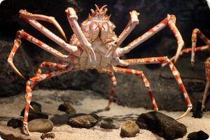 Giant Crab Spider - největší pavouci
