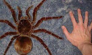 Goliáš je největším pavoukem na světě