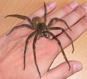 Největší pavouci brazilského putujícího pavouka světa