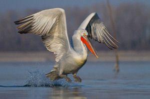Popis ptáků kudrnatých pelikánů