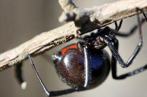 Kousnutí jedovatého pavouka