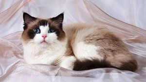 Cat Ragdoll - co je toto plemeno