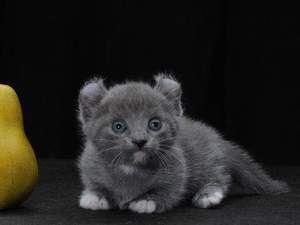 Kočky malých plemen