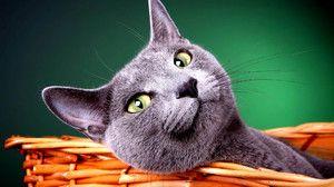 Tajemství úspěchu ruské modré kočky