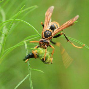 Hornet jí kořist