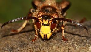 Hornet obyčejná - hlava