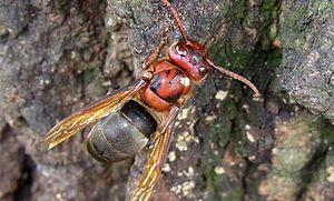 Černý sršeň parazitizuje, vylétá do hnízd
