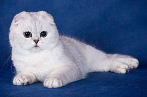 Chov skotských koček doma