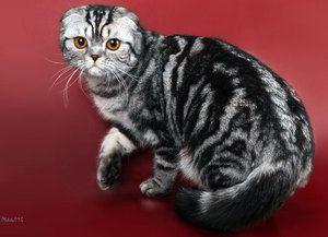 Krmení skotských koček