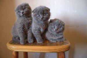 Výběr kotě Scottish Fold
