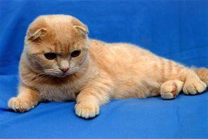 Scottish Fold kitten: obsah a péče