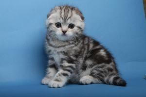 Příprava domů pro vzhled skotského kotě