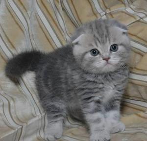Skotská kočička