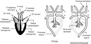 Kolik komor je v srdci ptáků