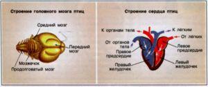 Jak je uspořádán mozek a srdce ptáka