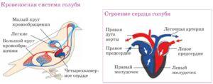 Čtyři komorové srdce - proč má pták takovou strukturu organu