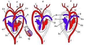 Vlastnosti struktury srdce a oběhového systému ptáků