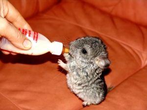 Malé činčily nápoje z láhve