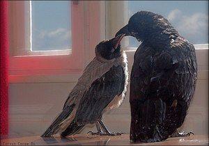 Rozdíly vrany od havranů